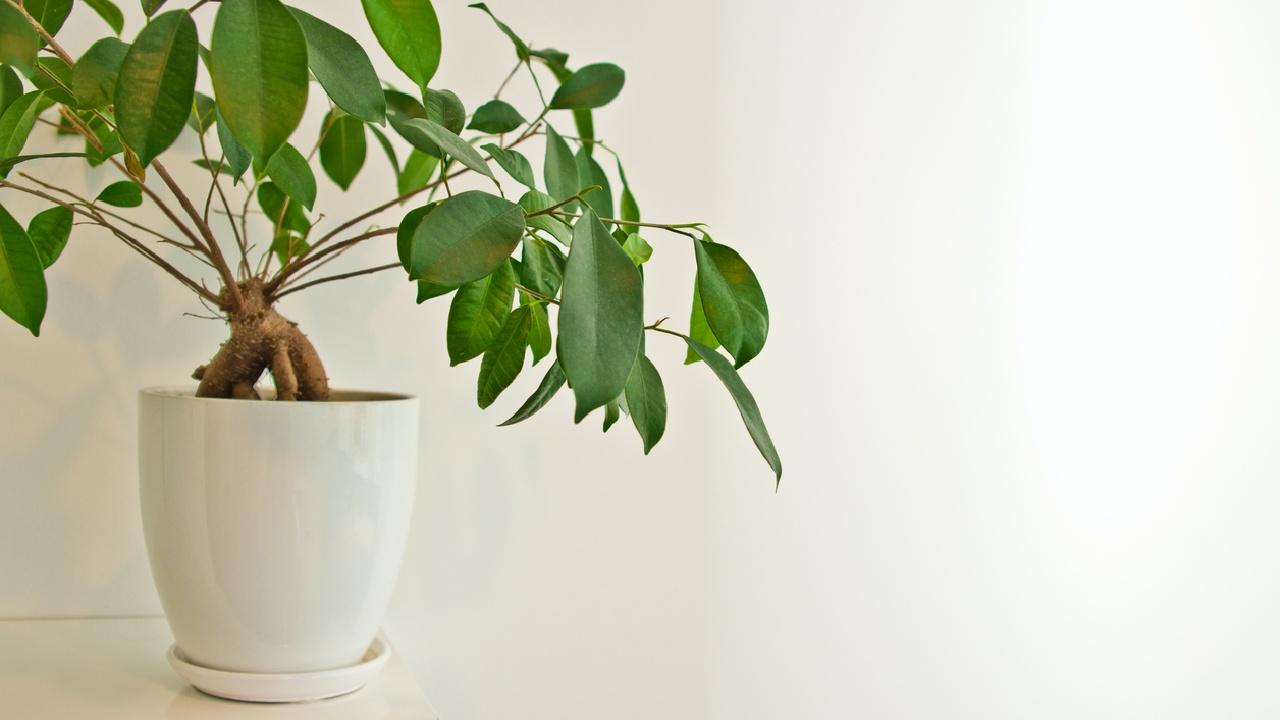 Birkenfeige (Ficus benjamina)